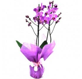 Phalaenopsis Lila