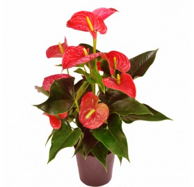 Anthurium Barcelona