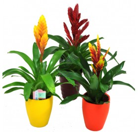 Vriesia (Bromelia with pot)