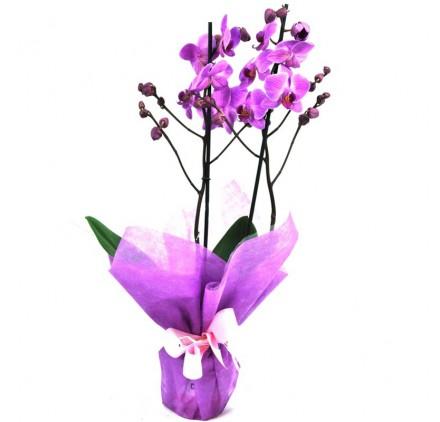 Orquidea Phalaenopsis Lila